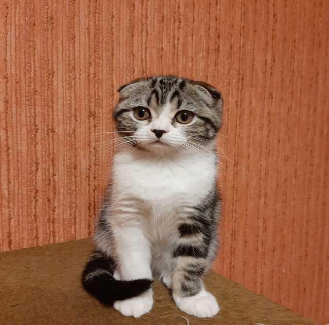 Продам Шотландский вислоухий котёнок-девочка