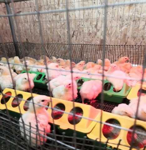 Продам Недельные цыплята КОББ-500