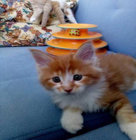Продам Котята мейн кун в Челябинске