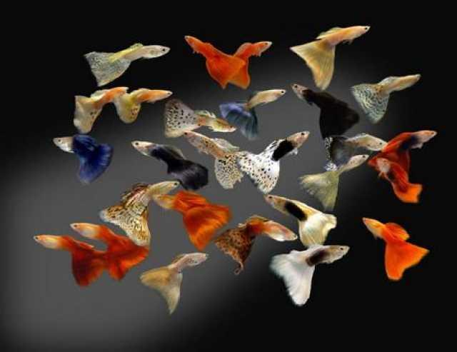 Продам: Аквариумная рыбка - гуппи