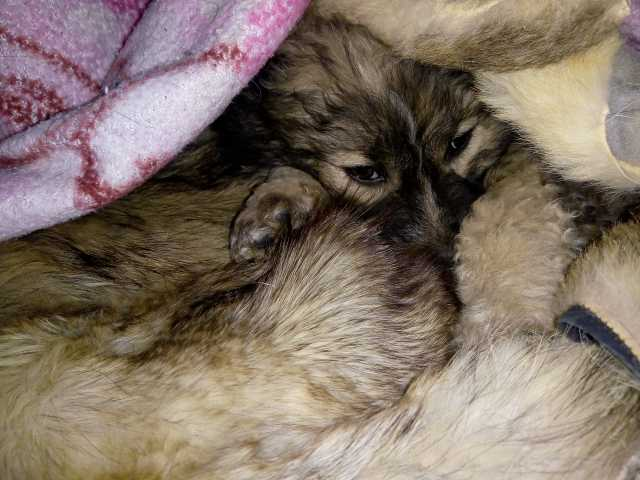 Отдам даром: Щенок, кобель, 1,5-2 месяца