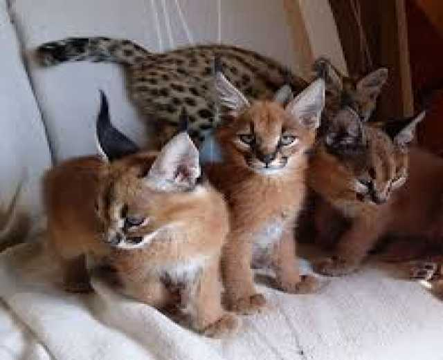 Продам: Ocelot and Caracal Kittens