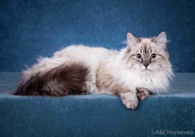 Продам: Невская маскарадная кошка