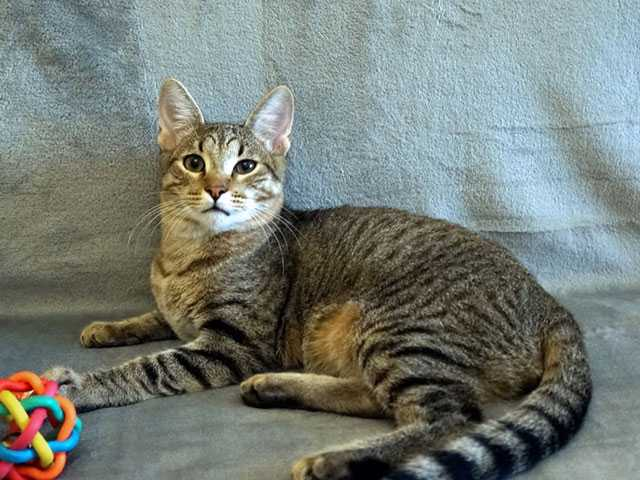 Отдам даром: Ласкуша Барсик, молодой полосатый котик