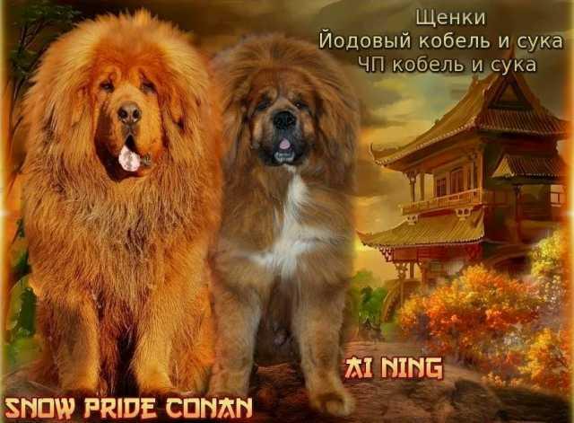 Продам: щенки тибетского мастифа китай с док ркф