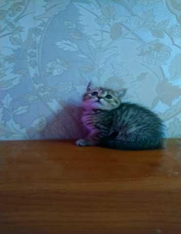 Продам: Шотландские кошечки