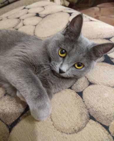 Продам Кошка