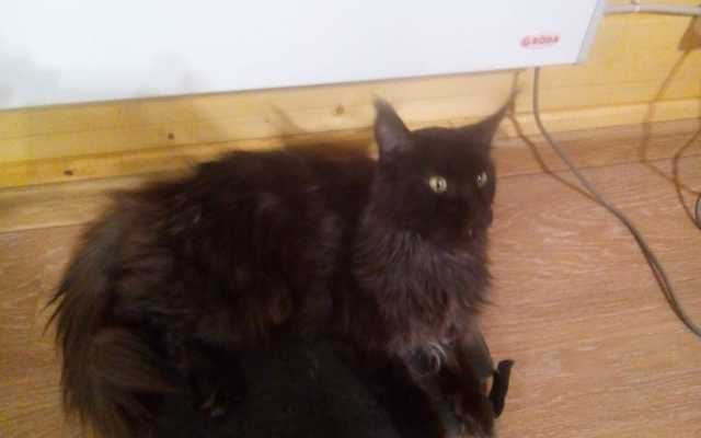 Отдам даром: Кошка мейкун в хорошие руки