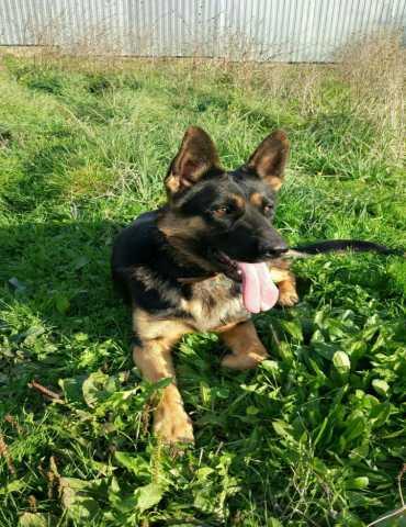 Продам: Чистокровные щенки немецкой овчарки