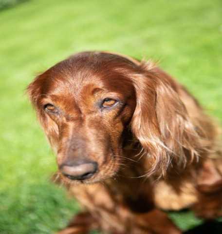 Продам: Ирландского сеттера щенки с отличной род