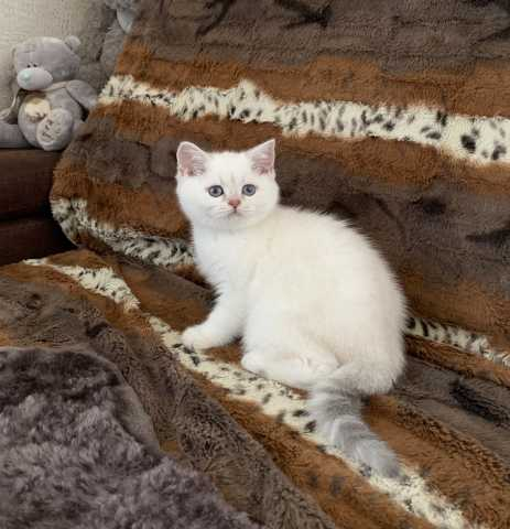 Продам Британские котята с документами