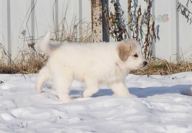Продам: Пиренейская горная собака. Щенки