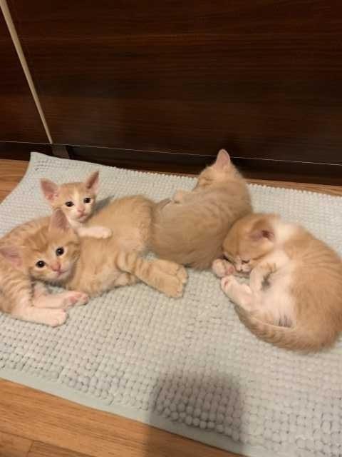 Продам: Котята от Сфинкс Браш
