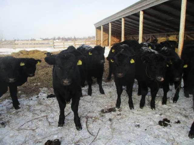 Продам: Абердин ангусс бычки и телочки