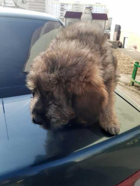 Продам: Тибетский мастиф щенки