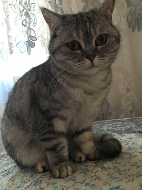 Отдам даром Шотландская кошка