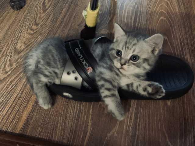 Продам Шотландские вислоухие и прямоухие котята