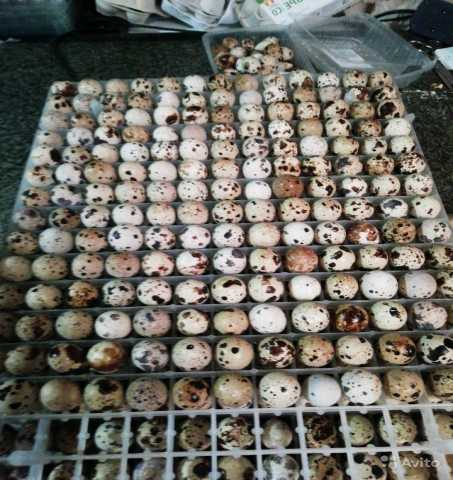 Продам: Инкубационные яйца перепелов