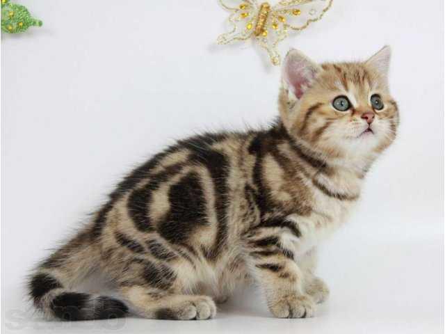 Продам Мраморные котята с документами