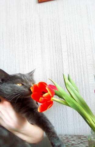 Отдам даром серого пушистого котика в хорошие руки