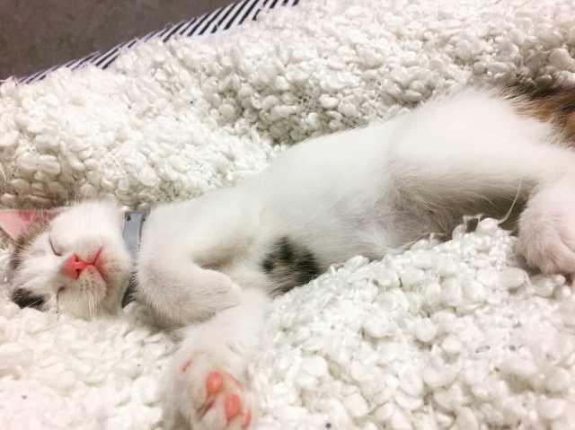 Продам: Кошка 7 месяцев