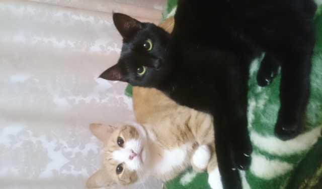 Отдам даром Кошки-неразлучники ищут дом