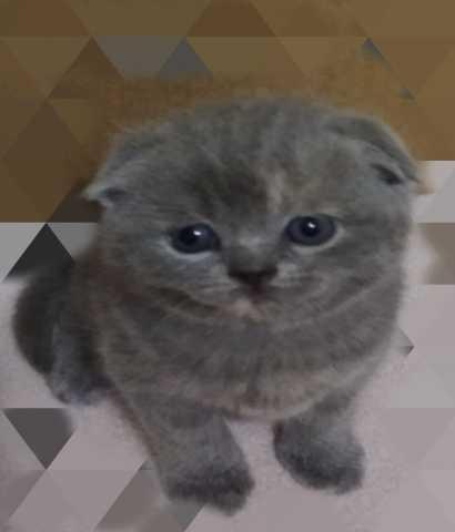 Продам: Чистокровные шотланские кошечки