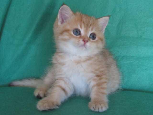 Продам Зеленоглазые котята (золотая шиншилла)
