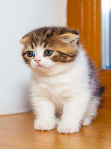 Продам: шотландский котенок