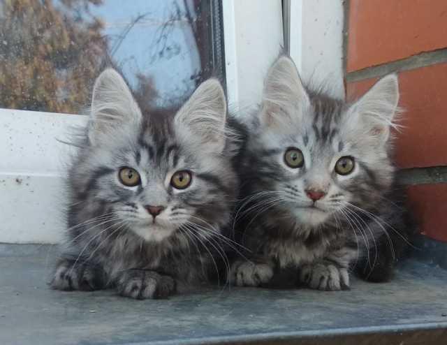 Продам Серебряные котята мейн куны