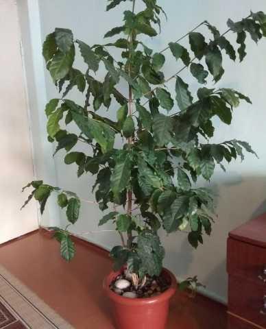 Продам кофейное дерево