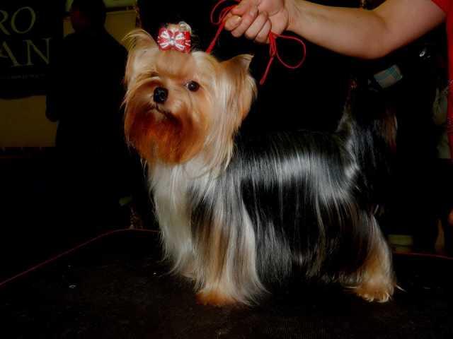 Продам: Йоркширского терьера щенки питомник