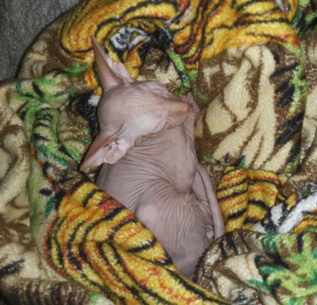 Продам: Котенок сфинкса в свяхзи с переездом