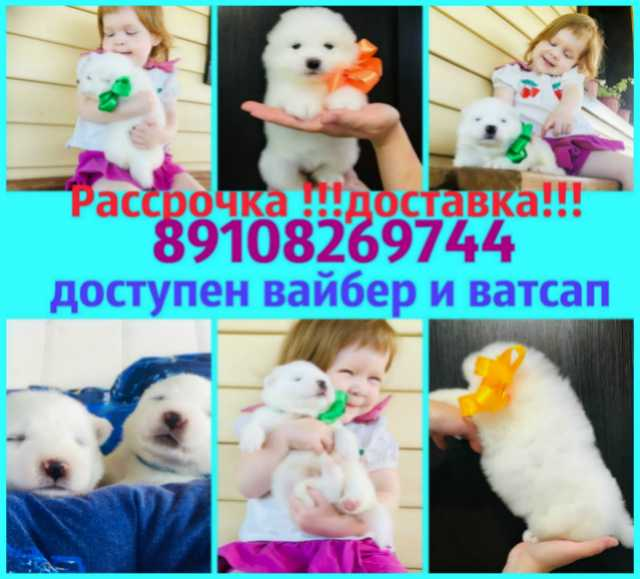 """Продам Белоснежные """"мишки"""" самоедики"""