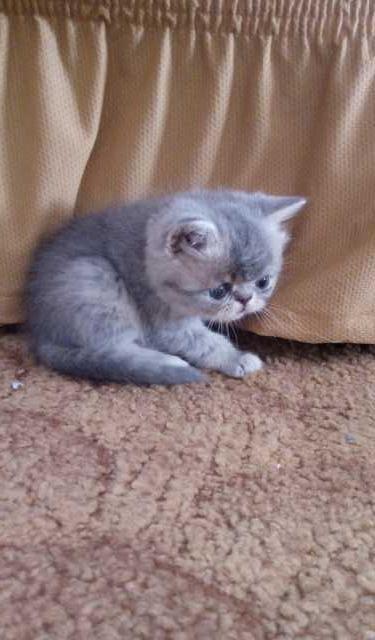 Продам: Котята персы
