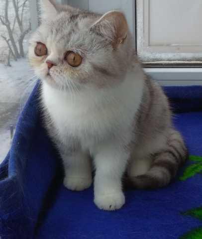Продам Кошечка экзотка короткошерстная
