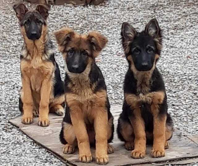 Продам Предлагаем щенков немецких овчарок