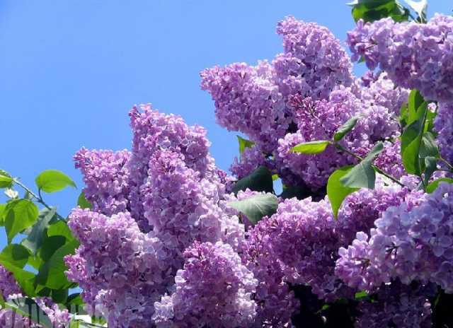 Продам: Саженцы деревьев, луковицы цветов
