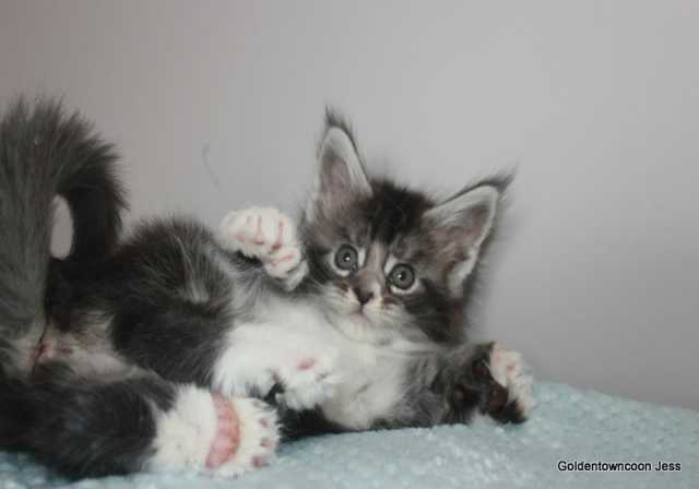 Продам: Котят породы мейн-кун