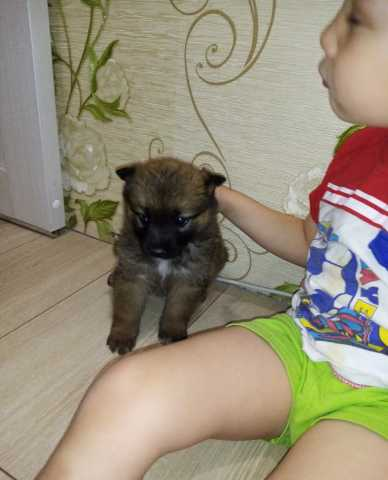 Отдам даром: Отдам щенка (девочка) помогу со стерлиза