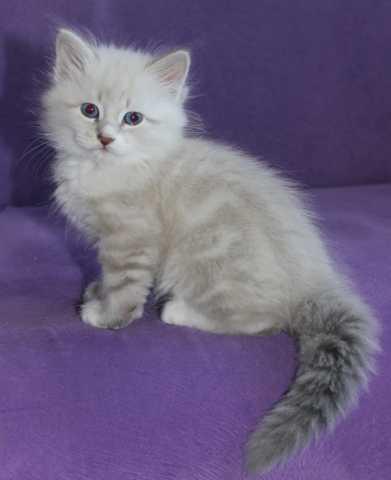 Продам Клубные котята Невская маскарадная
