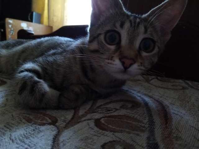 Отдам даром: Отдам котёнка, стерилизована, 4 месяца