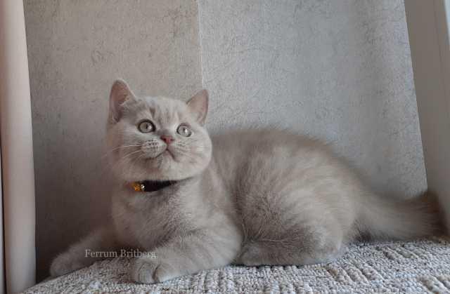 Продам Британский лиловый котик
