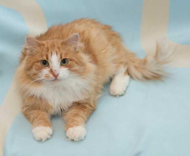 Отдам даром: Очаровательный ласковый молодой котик Ра