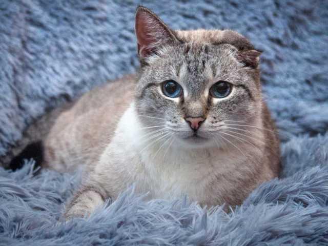 Отдам даром: Добрейший ласковый тайский кот Умка