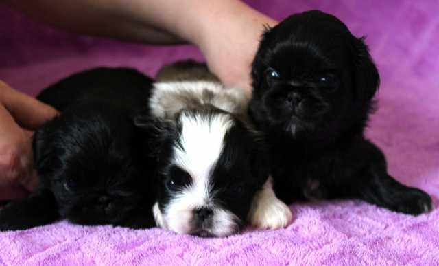 Продам: Продаются щенки пекинеса