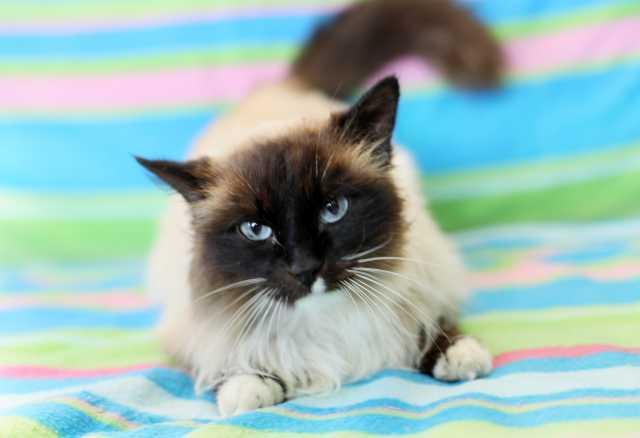 Отдам даром Невероятной красоты кошка Юнона в дар