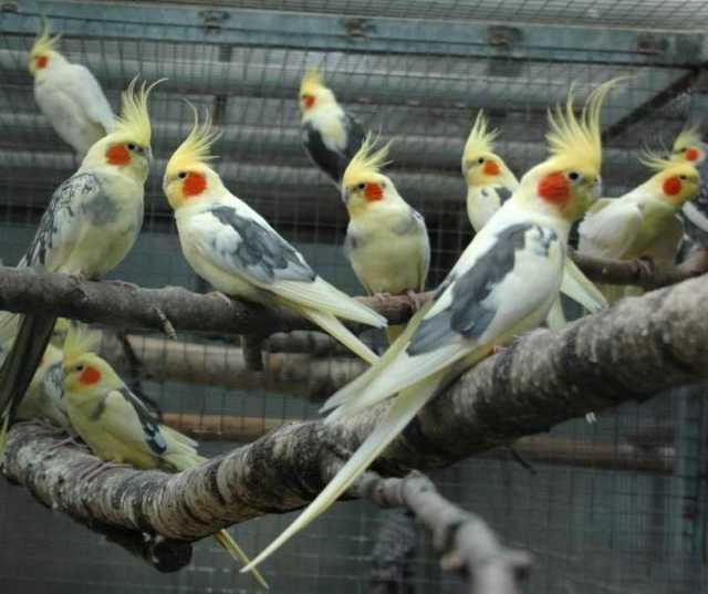 Продам: Птенцы корелл разного цвета