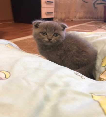 Продам: Шотландский вислоухий котёнок продаю