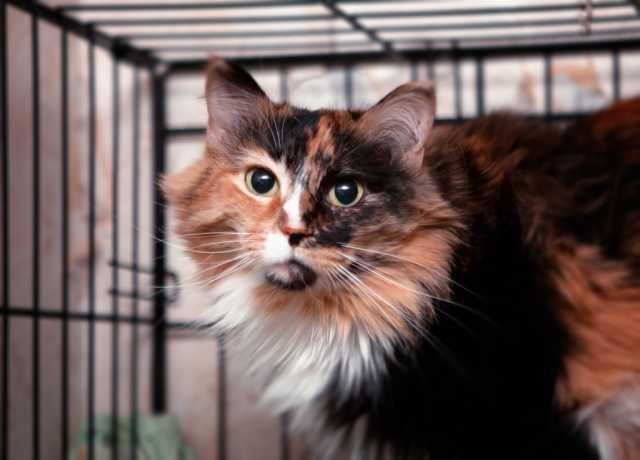Отдам даром: Кошка Лиза - яркая красавица!
